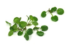 Mini Landcress
