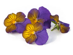 Edible flowers Yellow Purple pansies