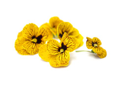 Edible flowers Golden/ Yellow pansies
