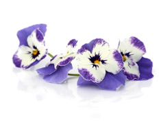 "Edible flowers ""Delfts'' blue pansies"