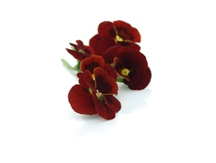 Edible flowers Red Pansies