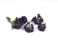 Lobularia flower purple